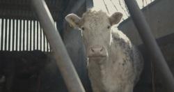 73 cows affiche